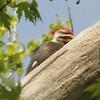 April 15, 2015 (Castlewood State Park / Ballwin, Saint Louis County, Missouri) -- Piliated Woodpecker