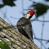 May 19, 2015 (Castlewood State Park / Ballwin, Saint Louis County, Missouri) -- Male Piliated Woodpecker