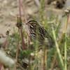 Savannah Sparrow @ Darst Bottom Road