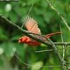 May 19, 2015 (Castlewood State Park / Ballwin, Saint Louis County, Missouri) -- Northern Cardinal