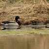 Mallards [Pair] @ Blue Grosbeak Trail