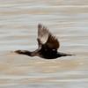 June 23, 2015 - (Riverlands Migratory Bird Sanctuary [flooded Ellis Bay]] / West Alton, Saint Charles County, Missouri) -- Double-crested Cormorant