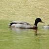 May 19, 2015 (Castlewood State Park [Kiefer Creek] / Ballwin, Saint Louis County, Missouri) -- Mallard