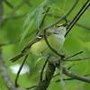 May 19, 2015 (Castlewood State Park / Ballwin, Saint Louis County, Missouri) -- White-eyed Vireo