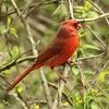 April 15, 2015 (Castlewood State Park / Ballwin, Saint Louis County, Missouri) -- Northern Cardinal