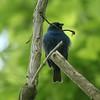 May 19, 2015 (Castlewood State Park / Ballwin, Saint Louis County, Missouri) -- Indigo Bunting