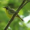 May 19, 2015 (Castlewood State Park / Ballwin, Saint Louis County, Missouri) -- Kentucky Warbler