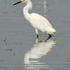 Snowy Egret @ Columbia Bottom CA