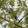 Yellow-billed Cuckoo @ Two Rivers NWR