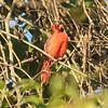 Northern Cardinal [Male] @ Castlewood SP