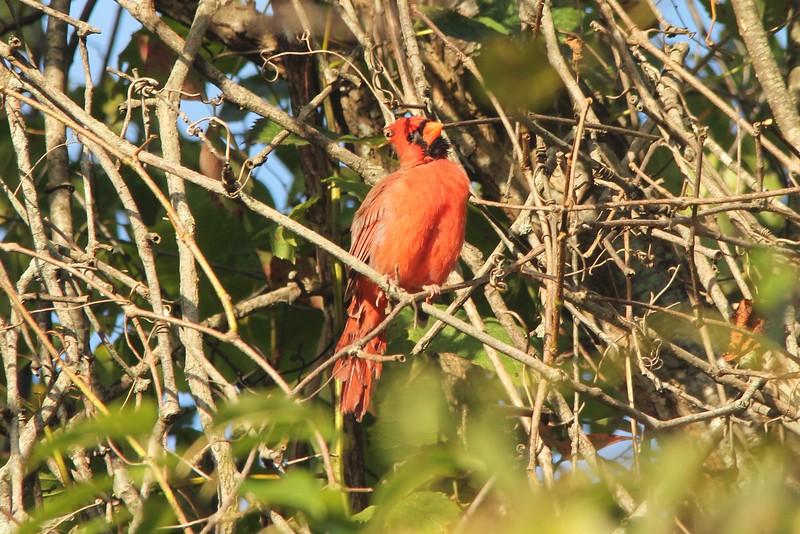 September 20, 2015 - (Castlewood State Park / Ballwin, St Louis County, Missouri) -- Northern Cardinal