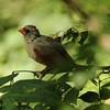 September 22, 2015 - (backyard feeders over Grand Glaize Creek / Manchester, Saint Louis County, Missouri) -- Female Northern Cardinal