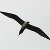 Long-tailed Jaeger @ Horseshoe Lake SP