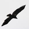 Bald Eagle @ Two Rivers NWR