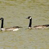 September 17, 2015 (Horseshoe Lake State Park / Granite City, Madison County, Illinois) -- Canada Geese