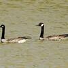 Canada Geese @ Horseshoe Lake SP
