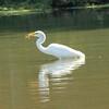 Great Egret Eating a Fish @ Horseshoe Lake SP