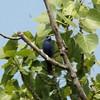 Blue Grosbeak @ Monroe County, Illinois