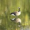 Canada Goose @ Simpson Lake CP