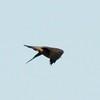 Peregrine Falcon @ Riverlands MBS