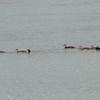 Wood Ducks @ Monroe County, Illinois