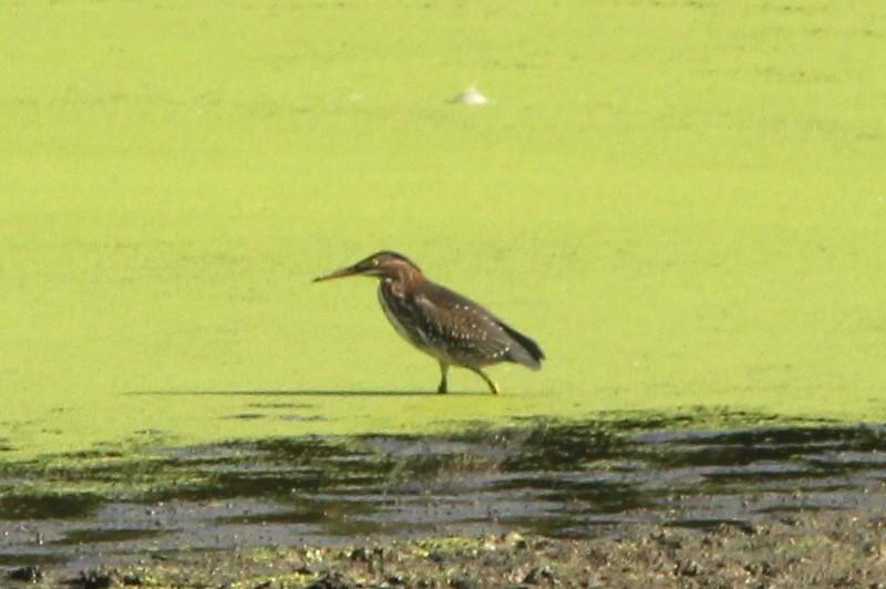 Green Heron @ Simpson Lake CP