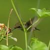 Ruby-throated Hummingbird @ Home