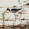 Black-necked Stilt @ Monroe County, Illinois