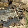 Green Heron @ Horseshoe Lake SP