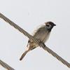 Eurasian Tree Sparrow @ Winfield Locks & Dam