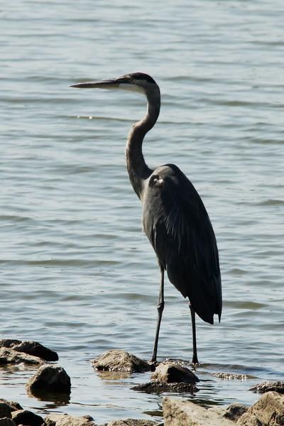 September 17, 2015 (Horseshoe Lake State Park / Granite City, Madison County, Illinois) -- Great Blue Heron