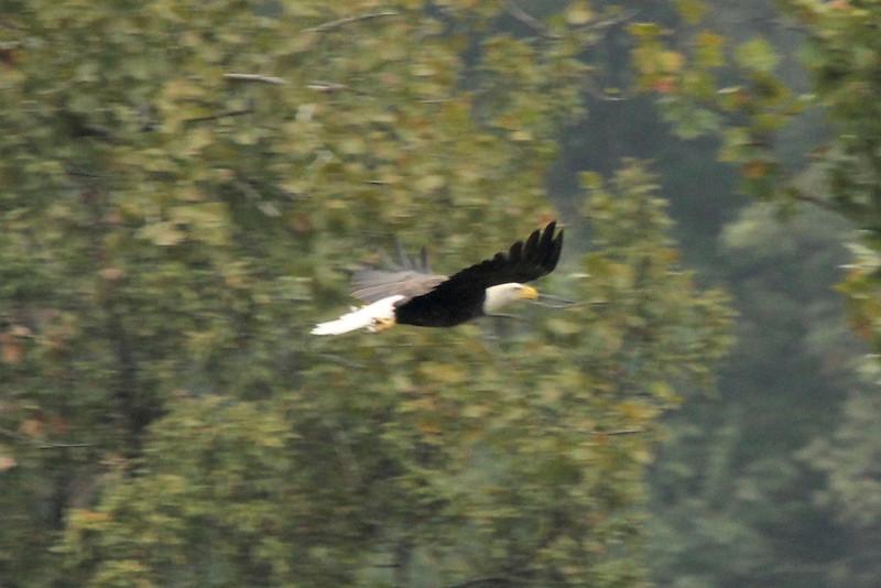 October 5, 2015 - (Simpson Lake County Park [Over Water Treatment Ponds] / Valley Park, Saint Louis County, Missouri) -- Bald Eagle