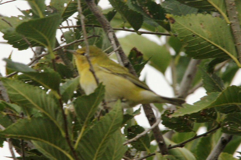 October 5, 2015 - (Simpson Lake County Park [Near Spillway] / Valley Park, Saint Louis County, Missouri) -- Tennessee Warbler