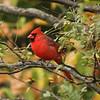 Northern Cardinal [Male] @ Simpson Lake CP