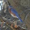 October 21, 2015 - (Route 66 State Park / Eureka, Saint Louis County, Missouri) -- Eastern Bluebird