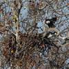 November 12, 2015 - (Simpson Lake County Park [Over Boat Ramp] / Valley Park, Saint Louis County, Missouri) -- Bald Eagle at Nest