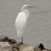 Great Egret @ Riverlands MBS