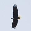 November 12, 2015 - (Simpson Lake County Park [Over Water Treatment Ponds] / Valley Park, Saint Louis County, Missouri) -- Bald Eagle