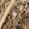 Eurasian Tree Sparrow @ Horseshoe Lake SP
