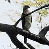 Cooper's Hawk @ John M Olin NP
