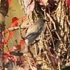 October 8, 2015 - (Shaw Nature Reserve [near Bascom House] / Gray Summit, Franklin County, Missouri) -- Cedar Waxwing
