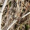 American Tree  Sparrow @ Horseshoe Lake SP
