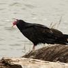 Turkey Vulture @ Riverlands MBS