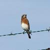 October 20, 2015 - (Simpson Lake County Park [Water Treatment Pond Fence] / Valley Park, Saint Louis County, Missouri) -- Eastern Bluebird