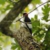 Red-headed Woodpecker @ John M Olin NP