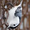 White-breasted Nuthatch at Van Cortlandt Park
