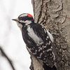 Downy Woodpecker at Van Cortlandt Park