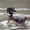 Male Wood Duck at Tibbetts Brook Oark