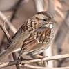 Whit-throated Sparrow at Van Cortlandt Park