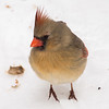 Northern Cardinal at Van Cortlandt Park